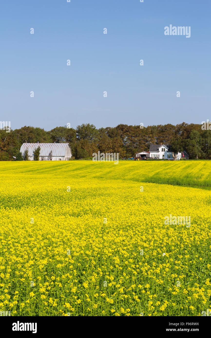 Granja y Campo de mostaza marrón en flor, Crapaud, Prince Edward Island, Canadá Imagen De Stock