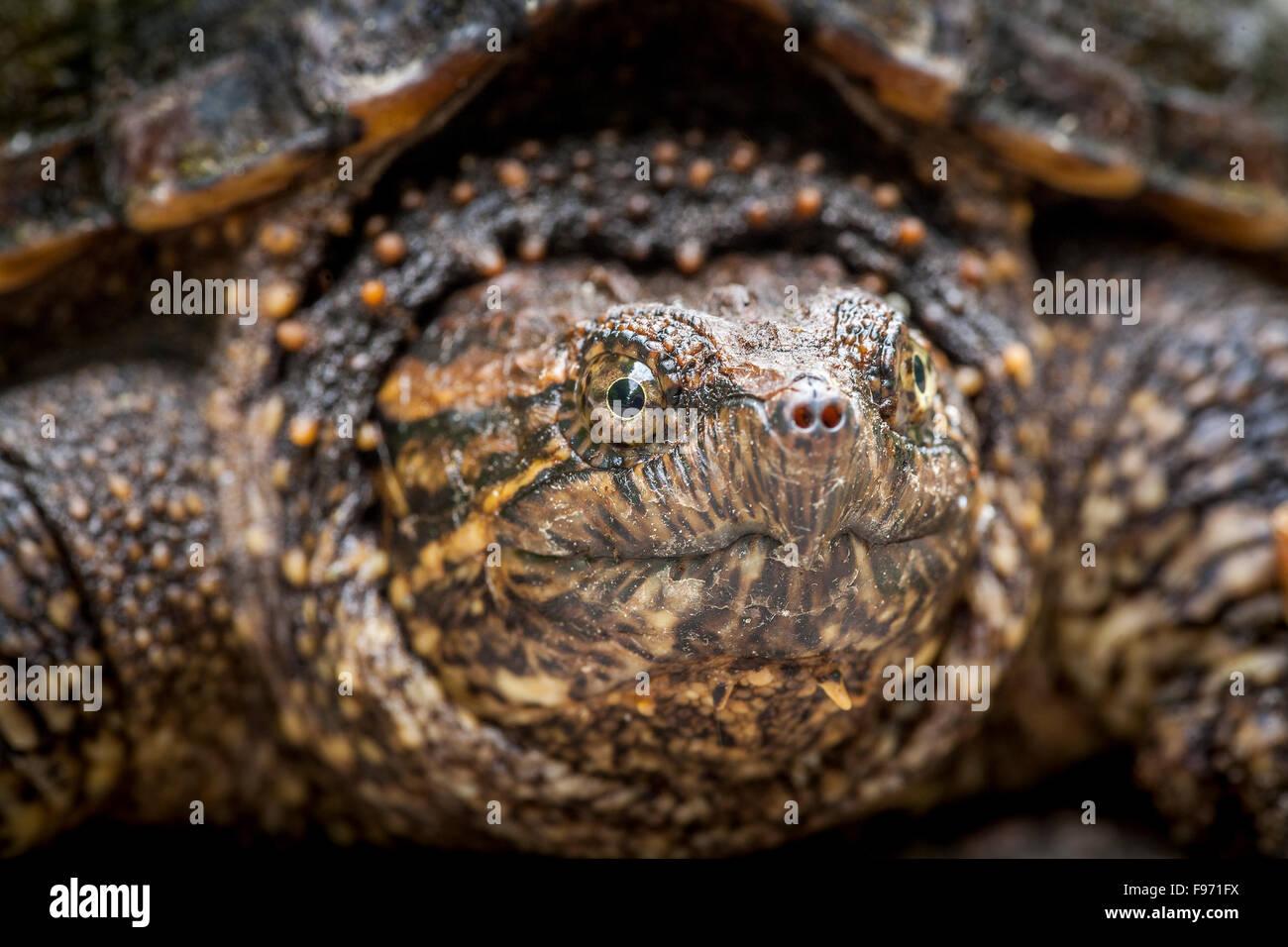 Los menores, de cizallamiento (tortugas Chelydra serpentina), Bon Echo Provincial Park, Ontario Imagen De Stock