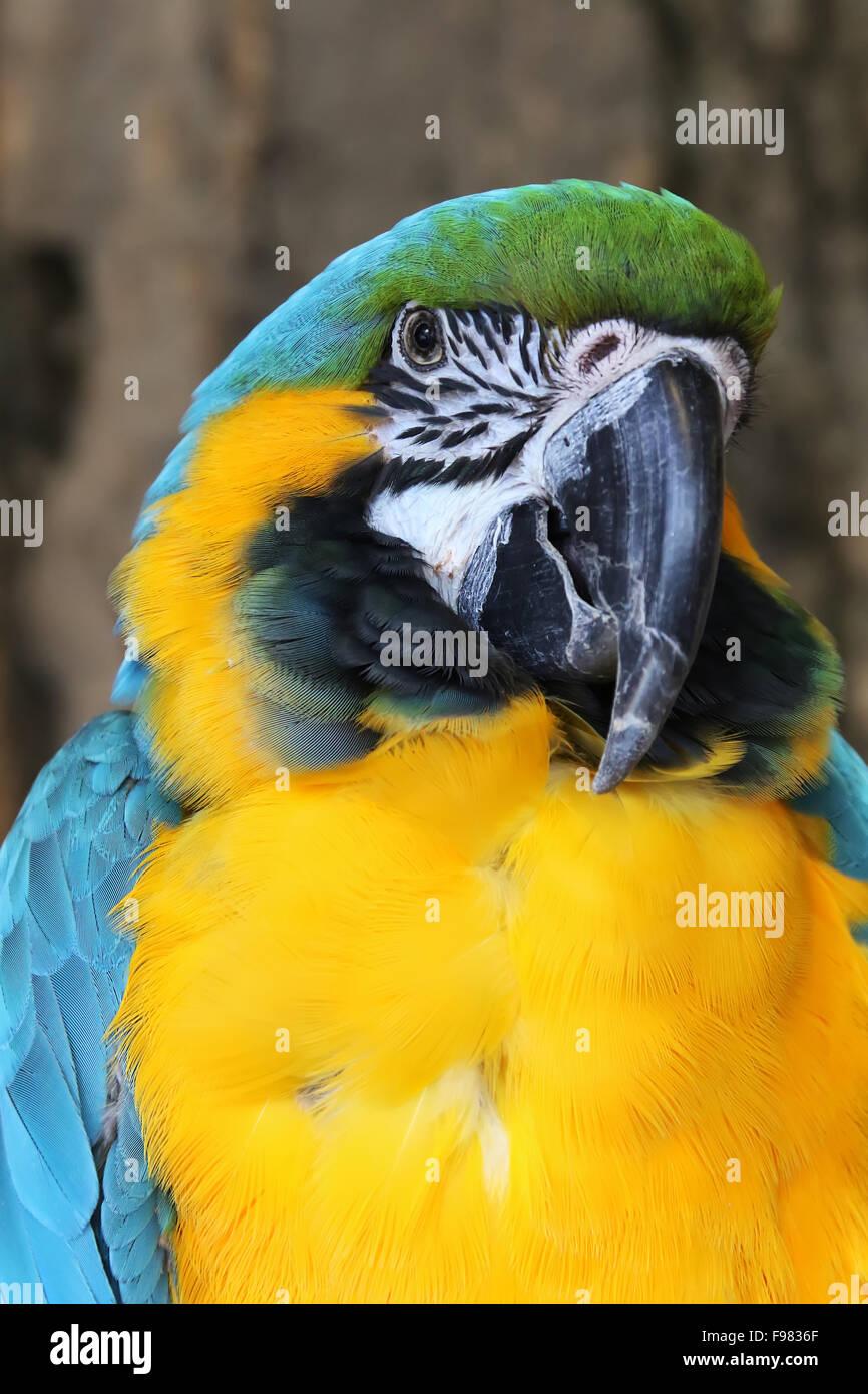 Guacamayo azul y oro. Ara bleu. Ara ararauna. Reino de aves, Niagara Falls, Ontario, Canadá. Imagen De Stock