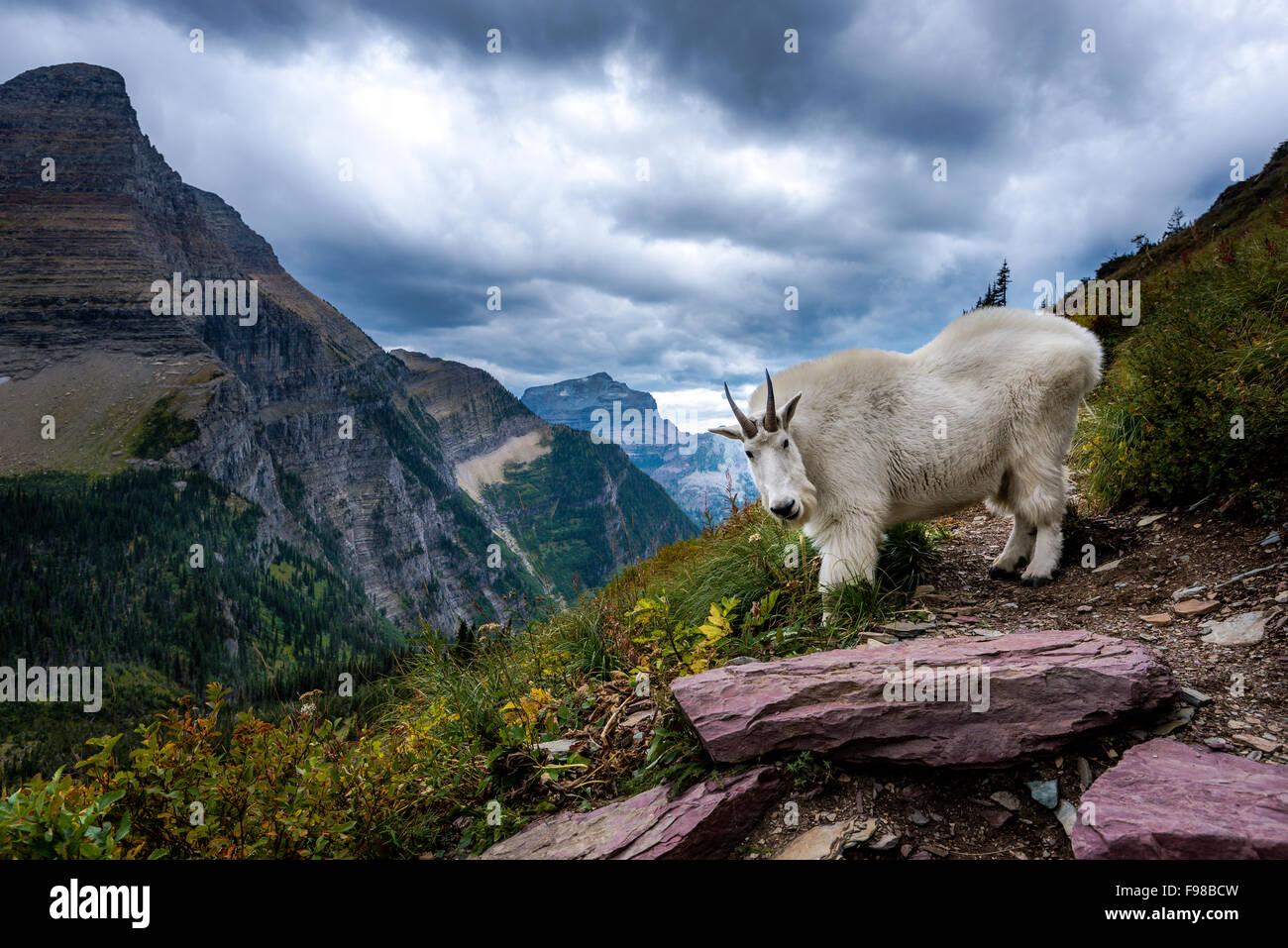 Rocky Mountain Bearhat Cabra delante de montaña en el parque nacional de Glacier, Montana Imagen De Stock