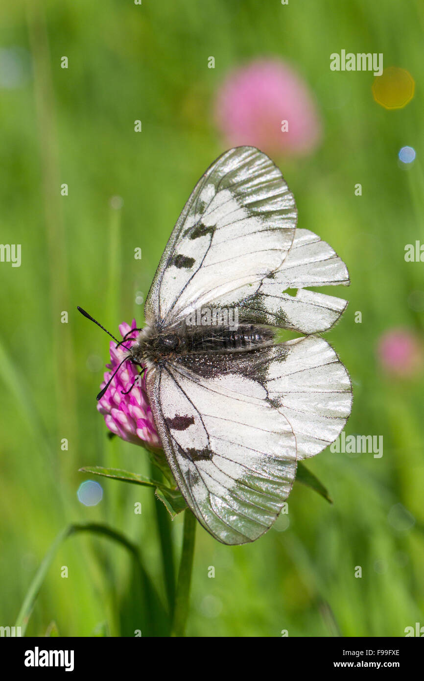 Mariposa Apolo nublado (Parnassius mnemosyne) adulto alimentándose en una pradera. Ariege Pyrenees, Francia. De junio. Foto de stock
