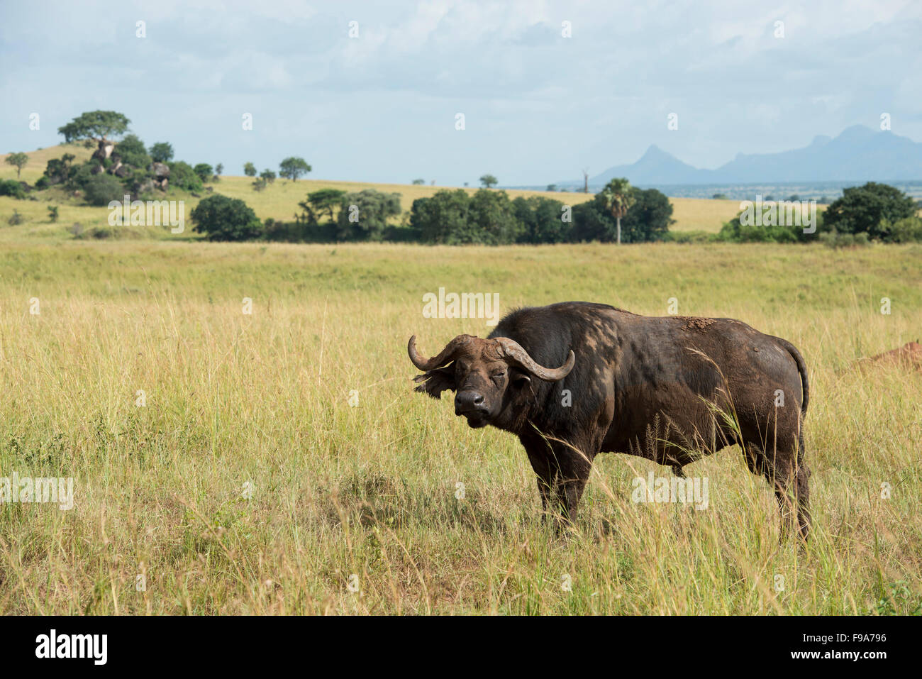 Buffalo (Syncerus caffer caffer), el Parque Nacional Valle de Kidepo, Uganda Imagen De Stock