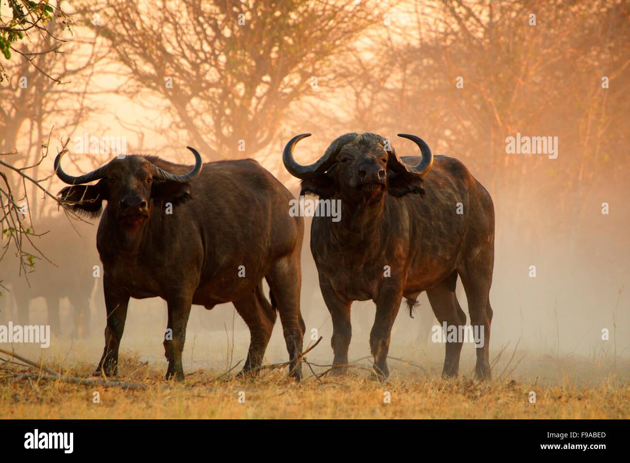 Los búfalos en el Mana Pools, Zimbabwe Imagen De Stock