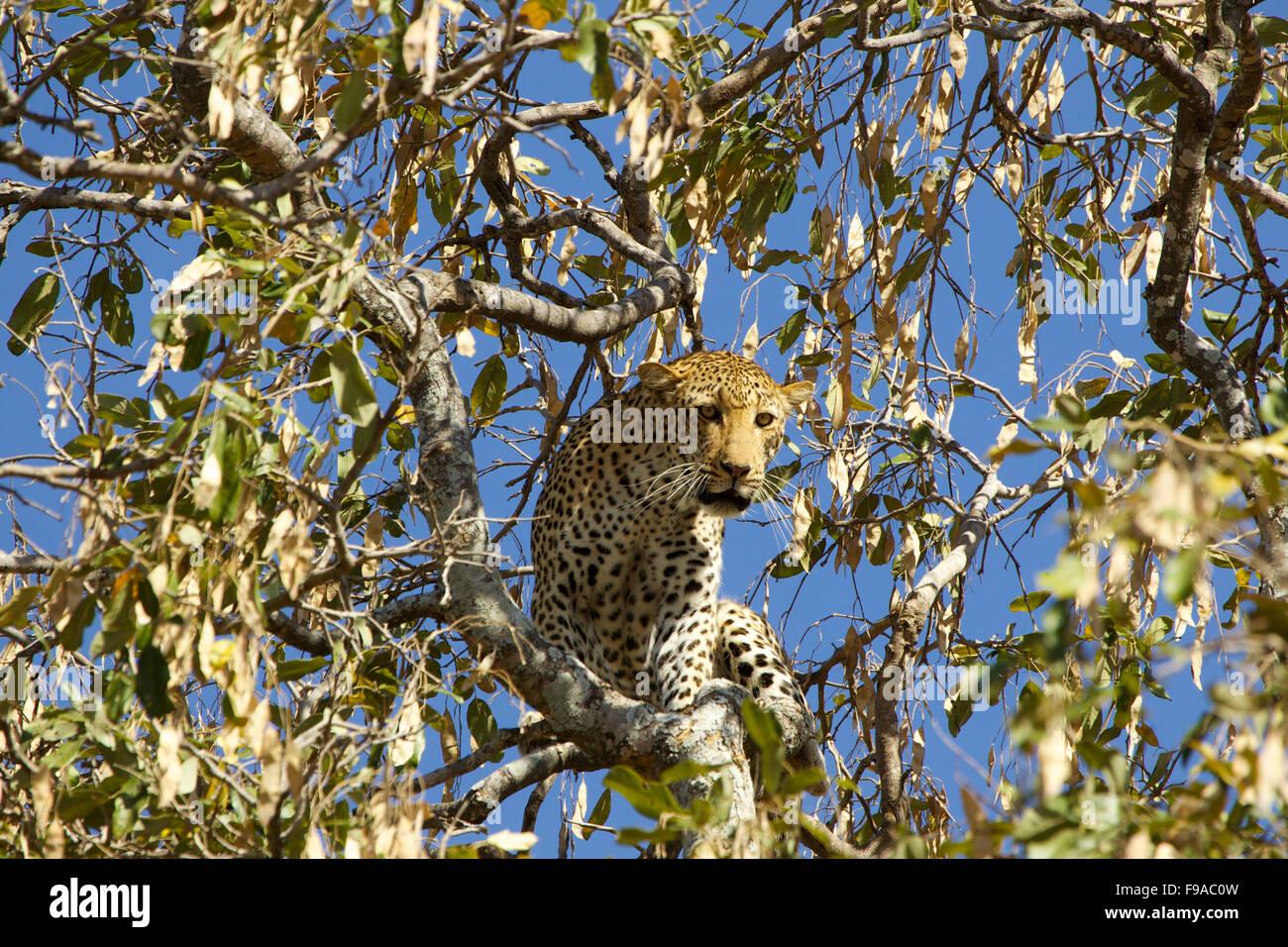 Leopardo en el árbol, Mana Pools, Zimbabwe Imagen De Stock