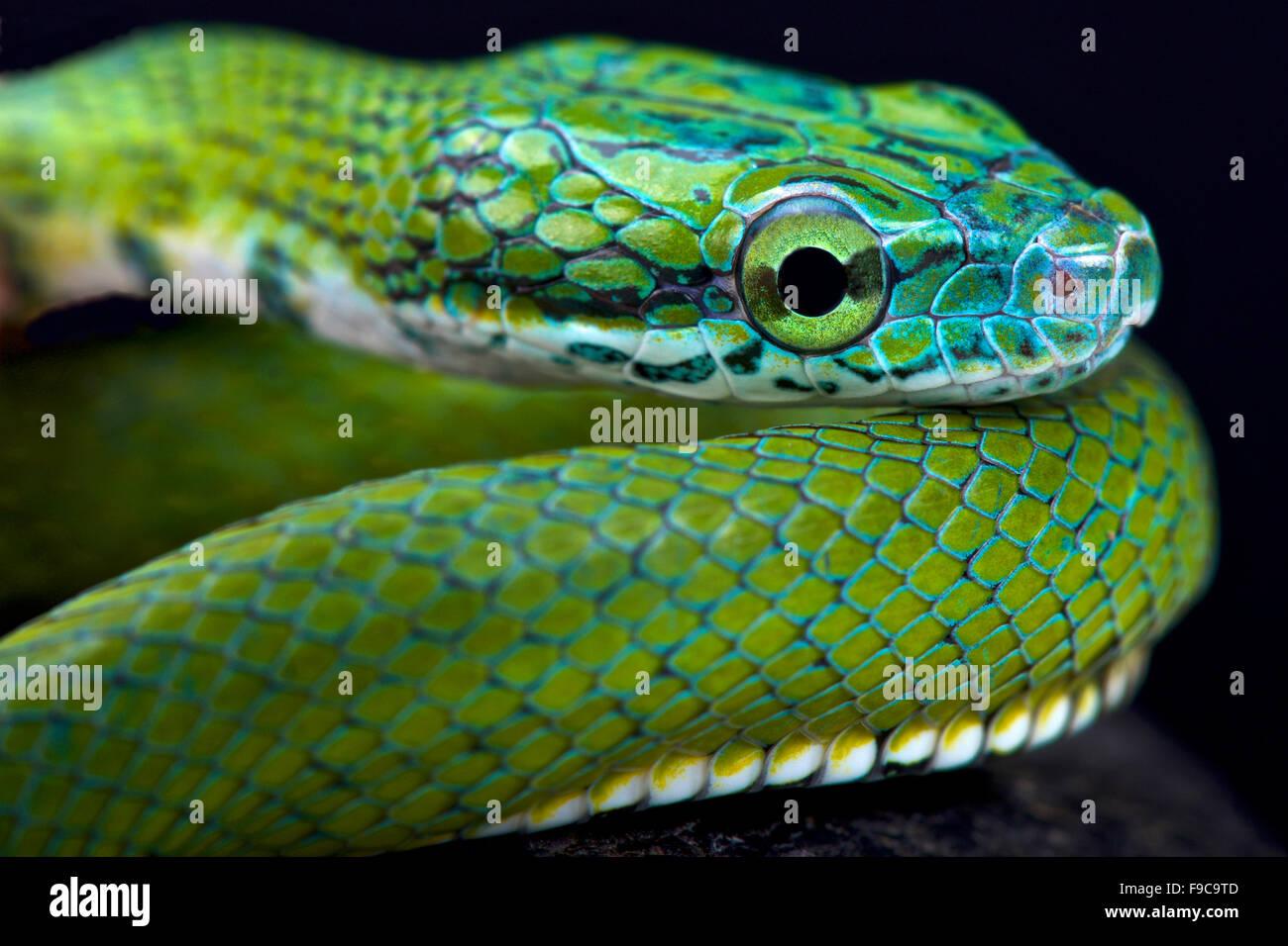 Verde (Rhadinophis ratsnake prasinum) Imagen De Stock