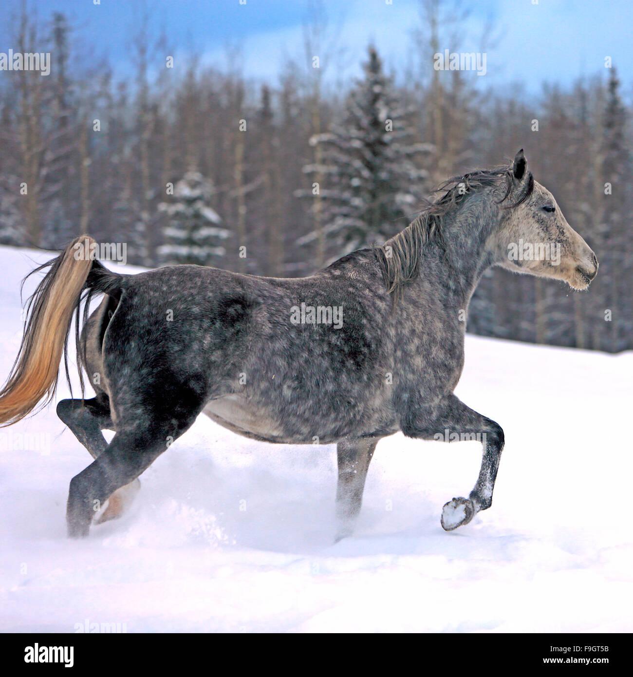 Gris manchan Arabian correr en invierno meadow Foto de stock