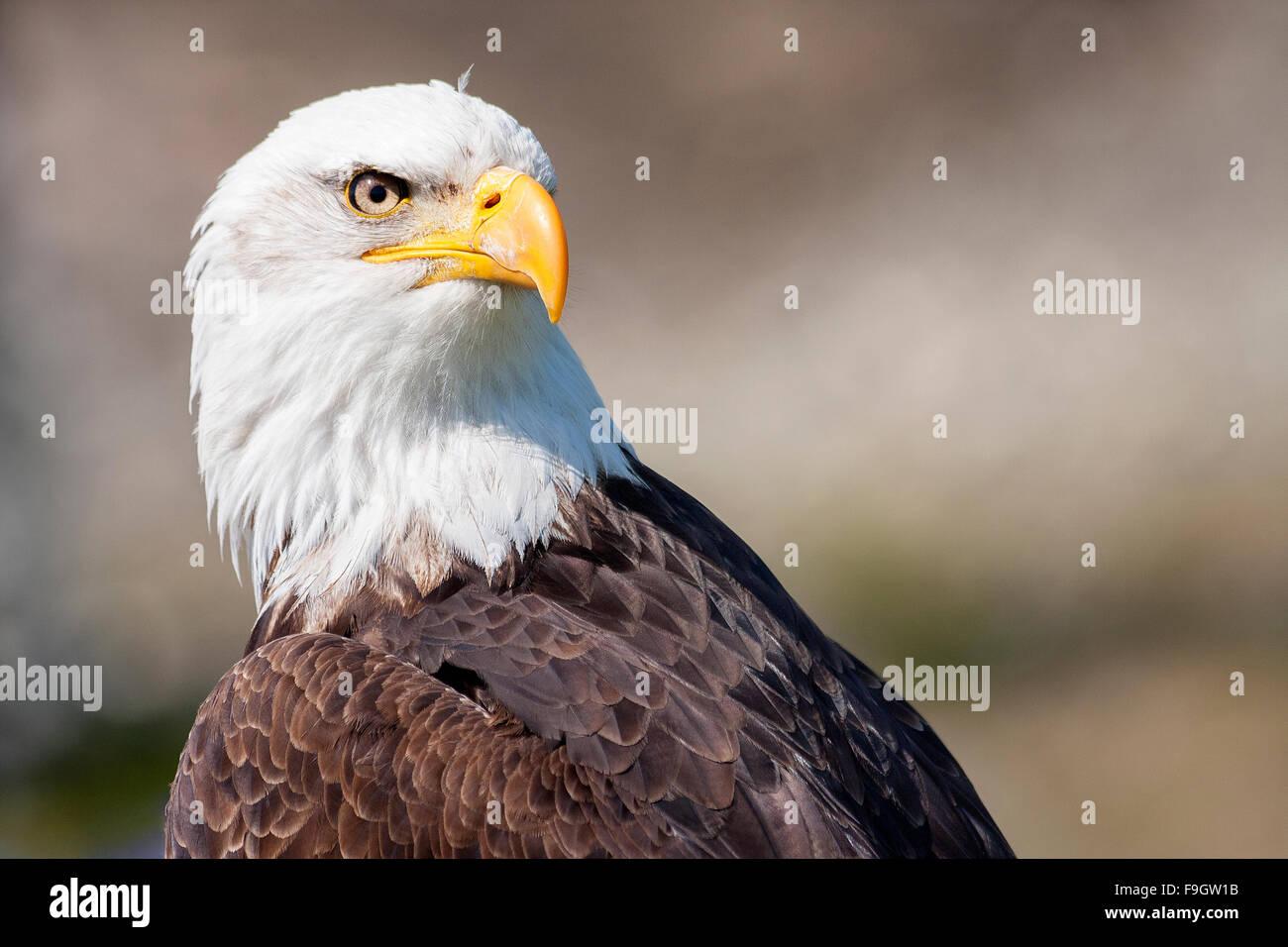 Retrato de un águila calva en Vancouver, Canadá Imagen De Stock