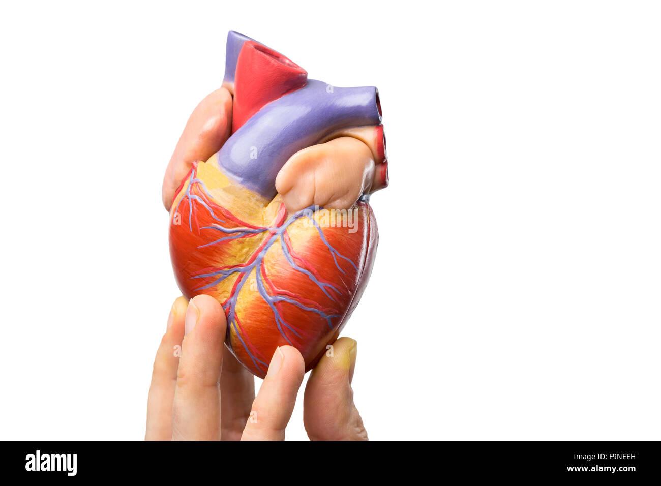 Dedos mostrando el modelo de corazón humano aislado sobre fondo ...