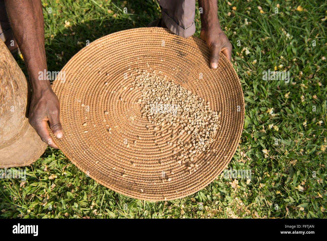 Los granos de café, la mujer Omwani cooperativa cafetalera, Uganda Imagen De Stock