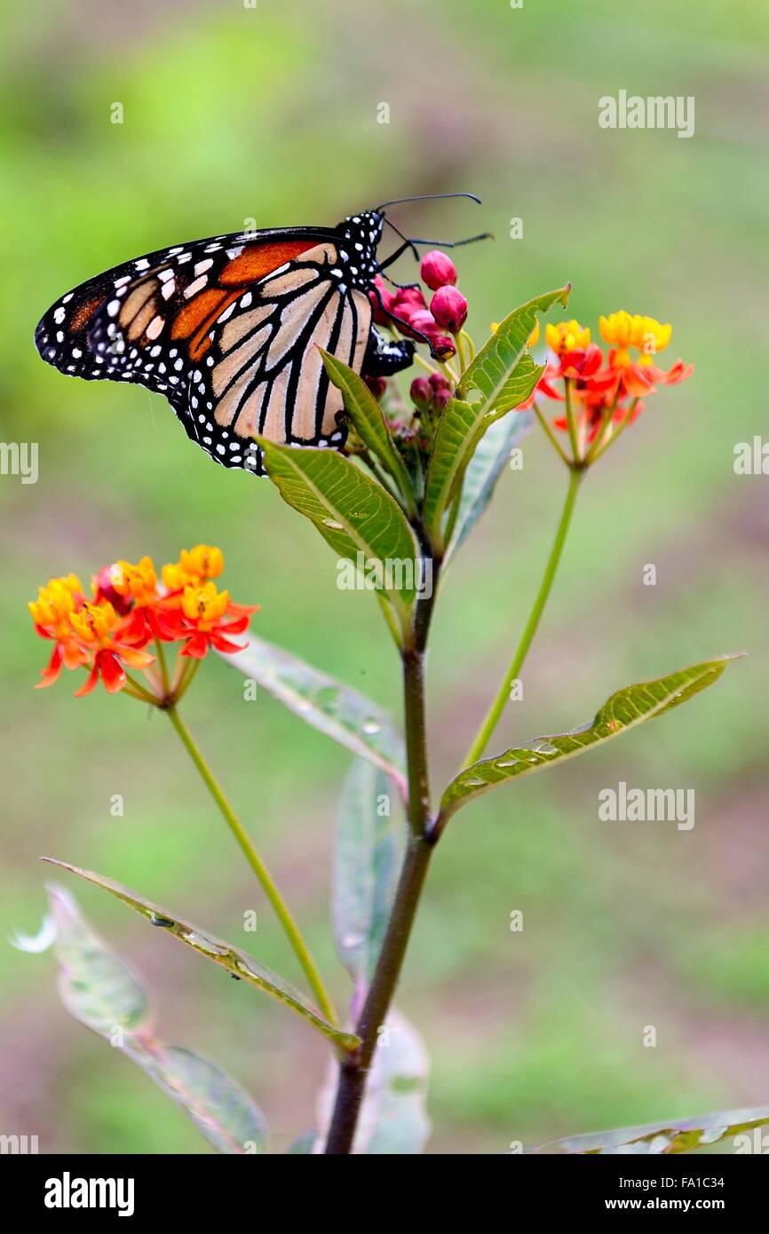 Mariposa Monarca Foto de stock