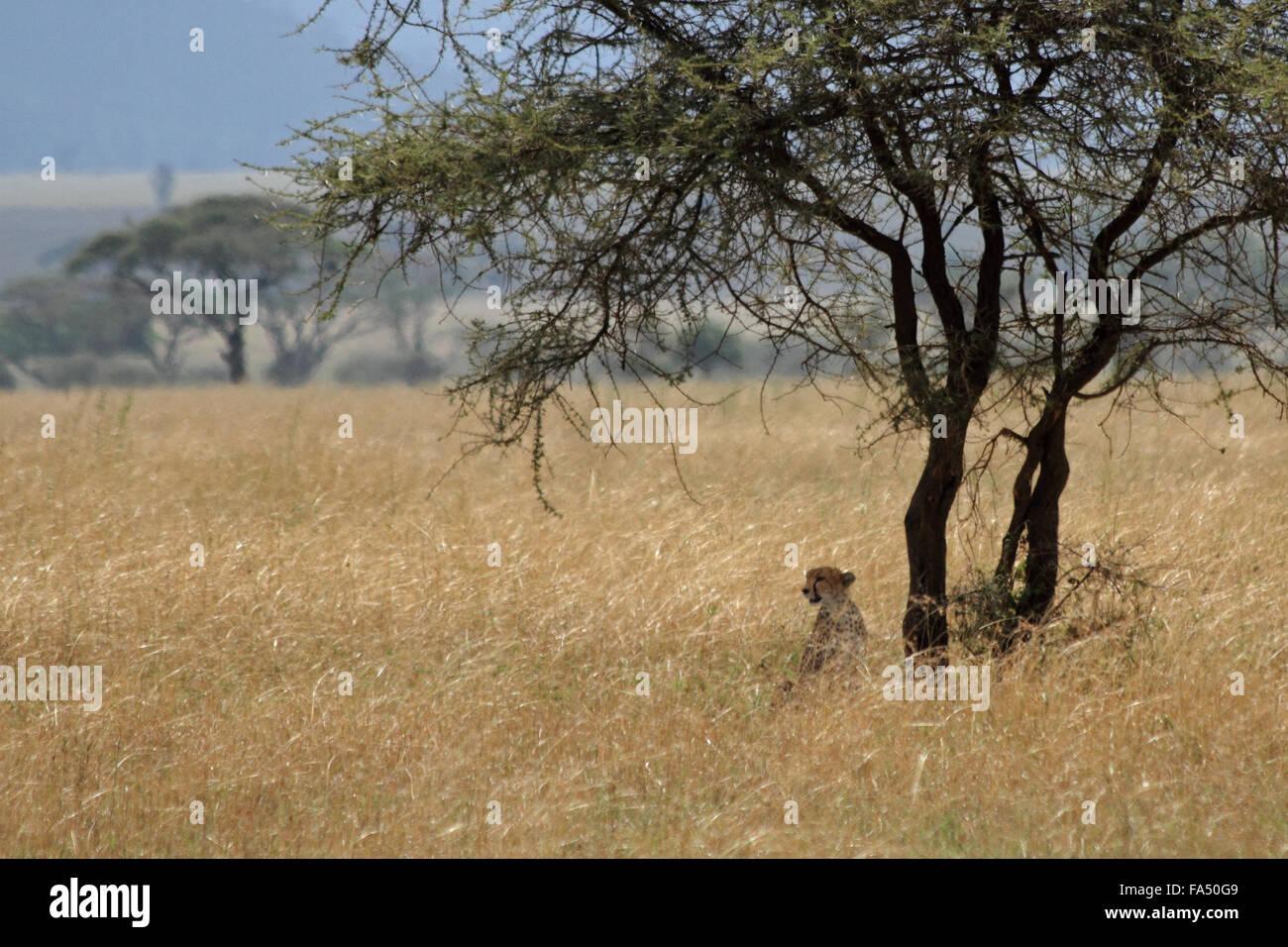 Un guepardo sentado debajo de alerta y acacia (Acinonyx jubatus) Imagen De Stock