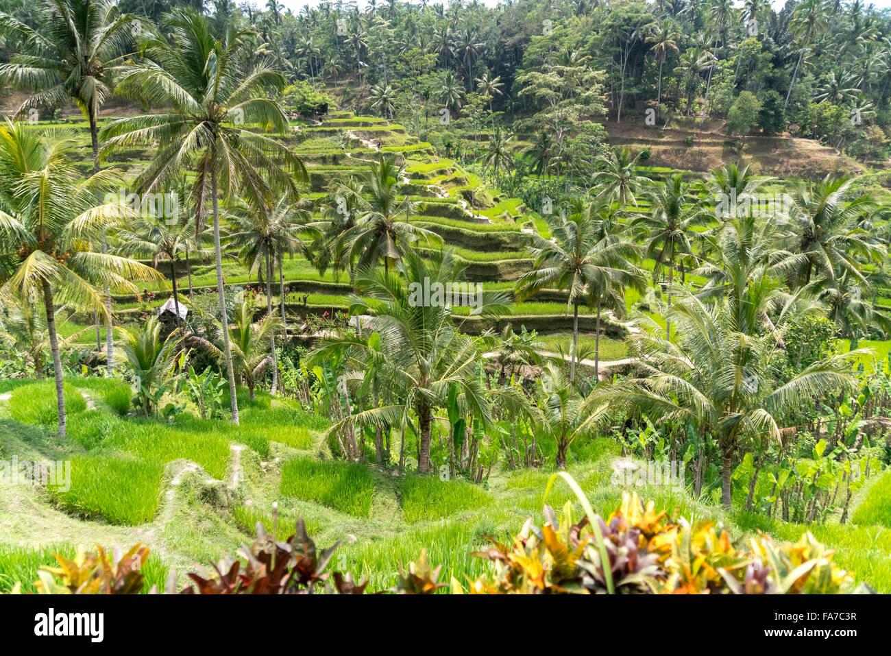 Terrazas de arroz de Tegalalang Ubud, Bali, Indonesia Imagen De Stock