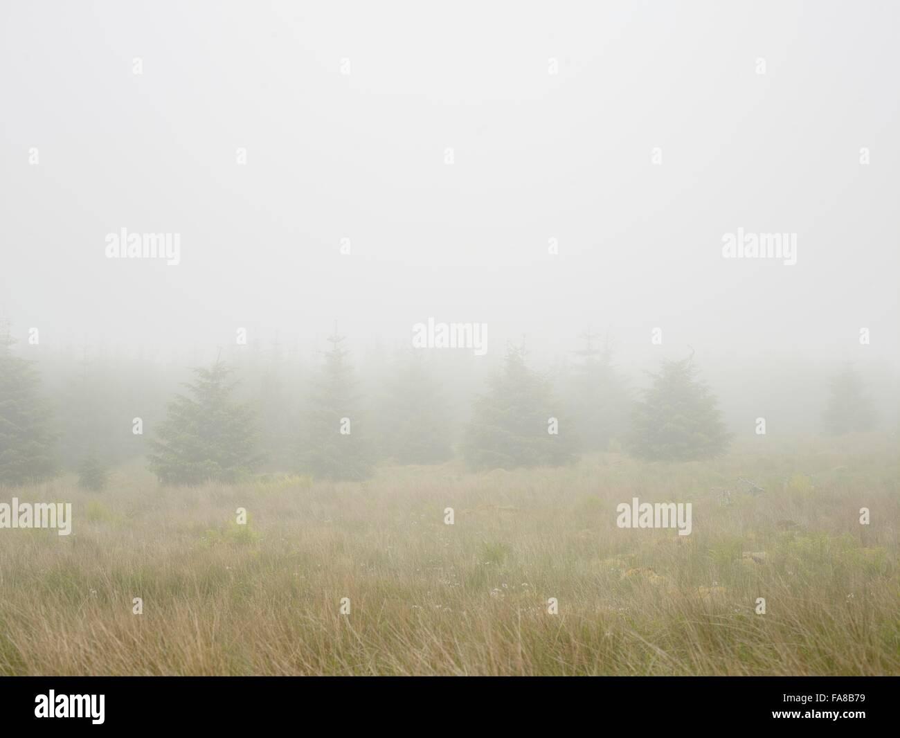 Los árboles de Navidad en neblina turbia, Sutherland, Escocia Foto de stock