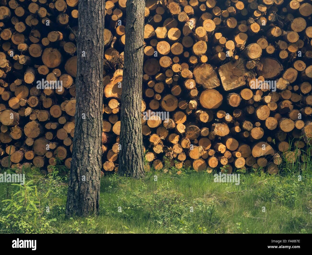 Cortar la madera junto a dos árboles restantes, en Perth, Escocia Foto de stock