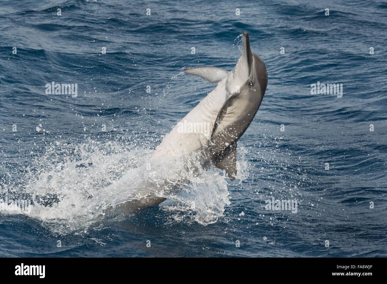 Hawaiian/grises, Delfines, Stenella longirostris, spinning, Maldivas, Océano Índico. Foto de stock