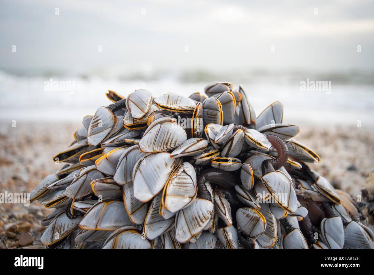 Cluster de mejillones lavados en la playa Imagen De Stock