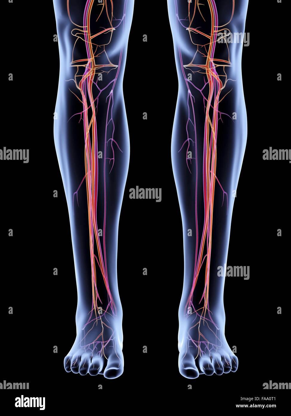 Artery Legs Imágenes De Stock & Artery Legs Fotos De Stock - Alamy