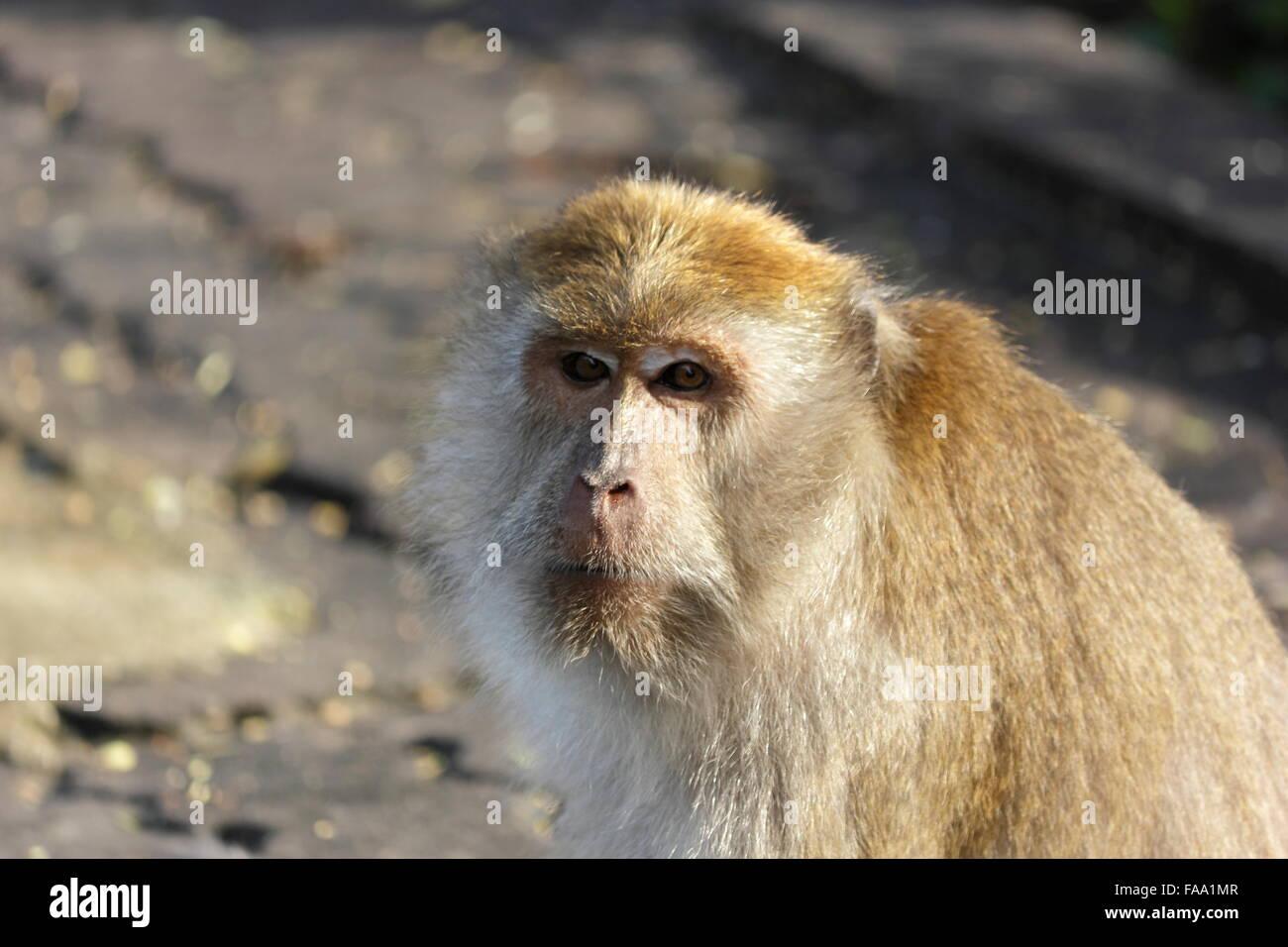 El libro mono mirar con recelo y esperar la comida. Imagen De Stock