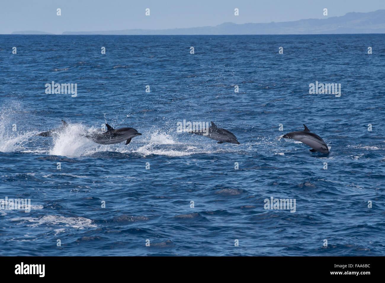 Delfín listado Stenella coeruleoalba,, grupo de delfines porpoising, cerca de la isla de Pico, Azores, Océano Imagen De Stock