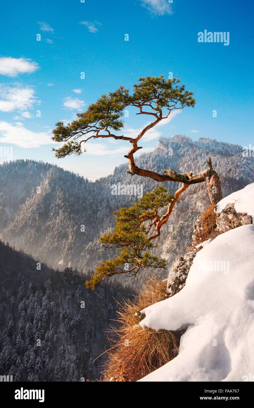 Solo pino en el Parque Nacional Pieniny Sokolica acantilado al atardecer, Polonia Foto de stock