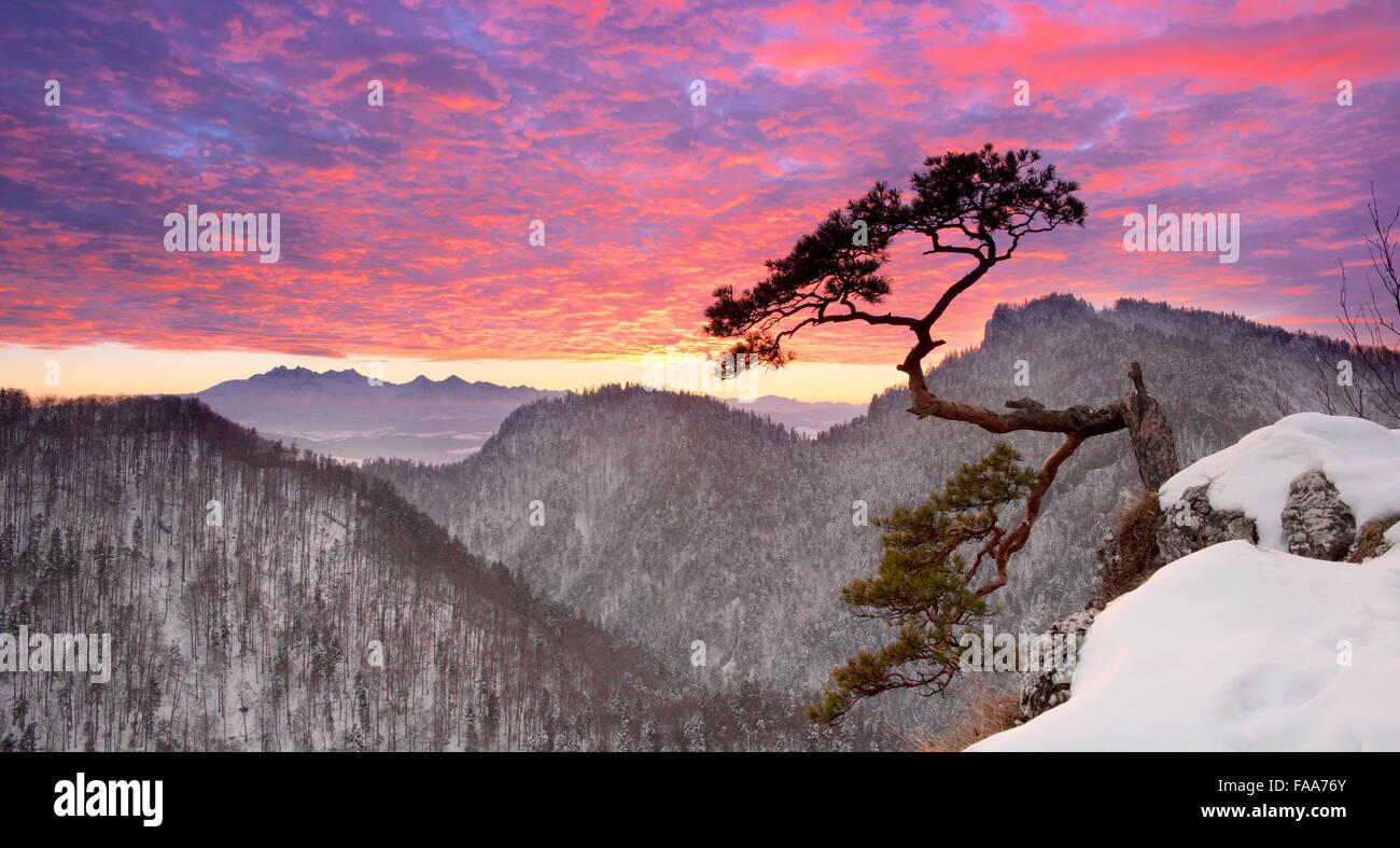 Solo solo pino en el Parque Nacional Pieniny Sokolica acantilado al atardecer, Polonia Imagen De Stock