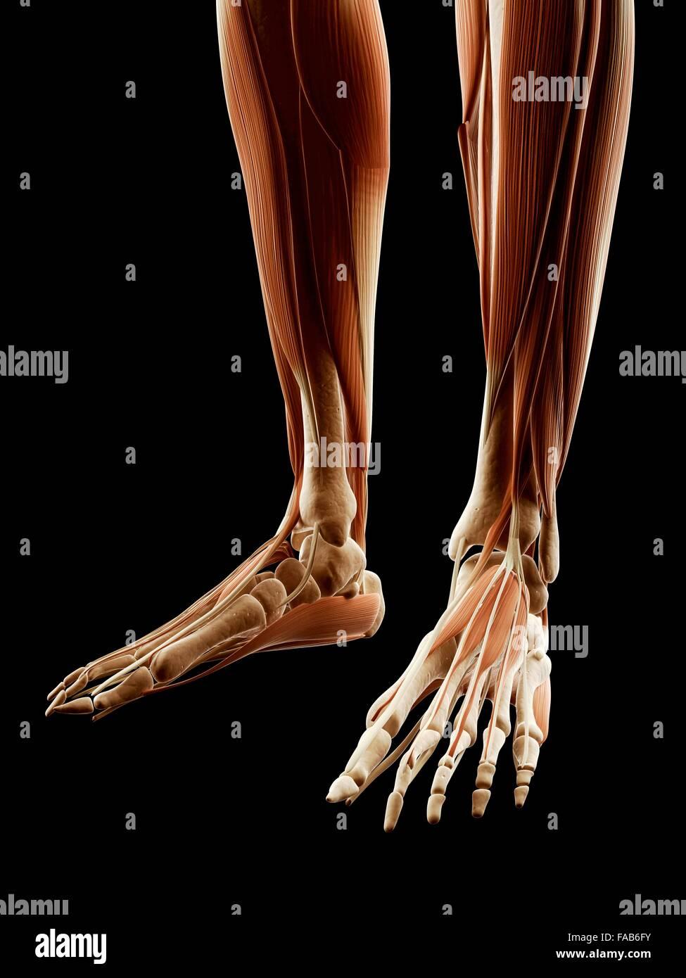 La parte inferior de la pierna y los músculos del pie, equipo de la ...