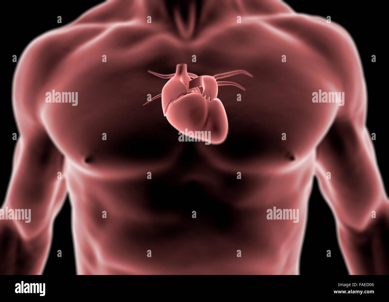 3d de la anatomía del corazón y del cuerpo humano, la radiografía ...