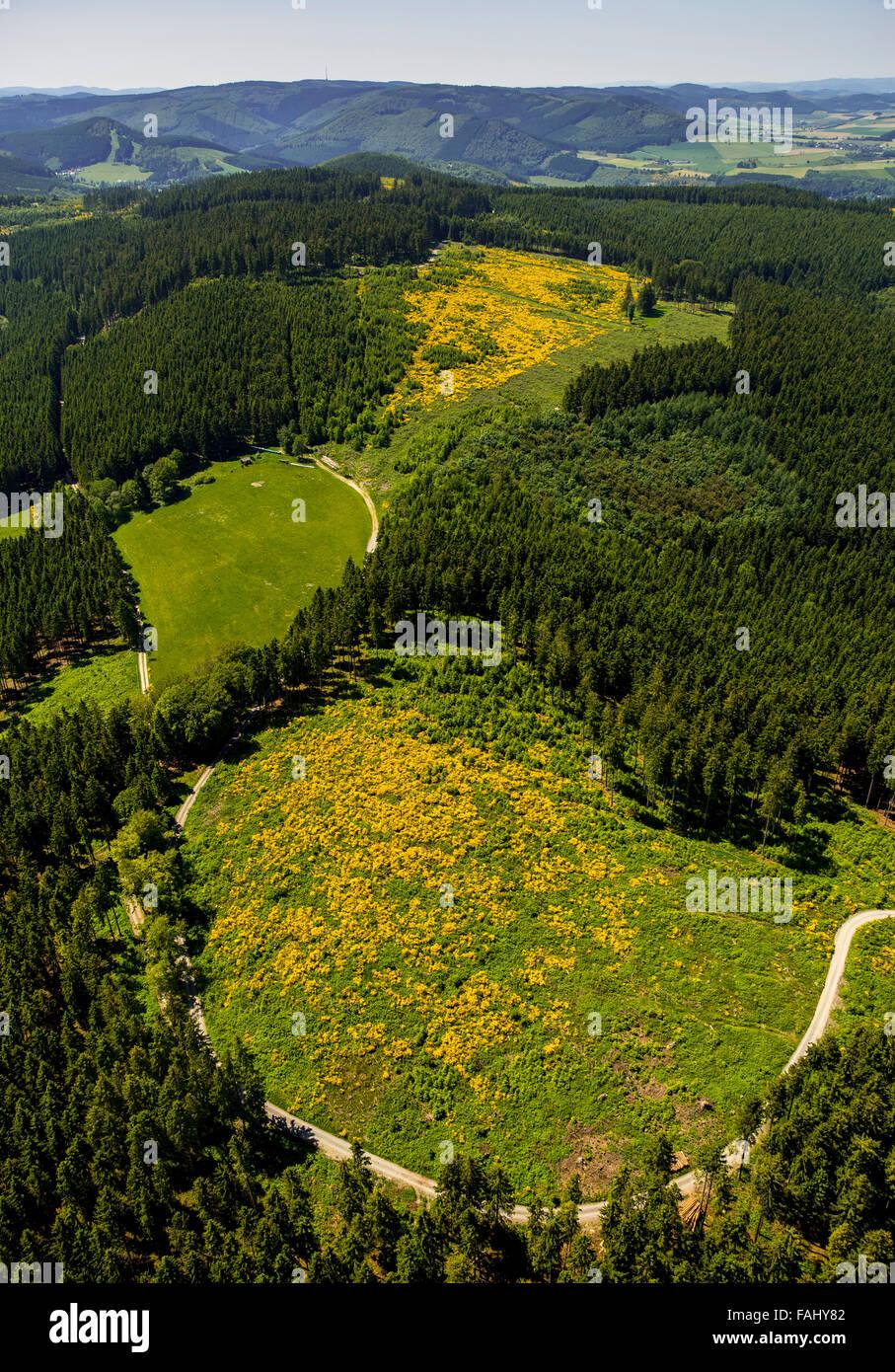 Vista aérea, en el campo de monte bajo, floración, retamas, Winterberg, Sauerland, Renania del Norte-Westfalia, Alemania, Europa, vista aérea, Foto de stock