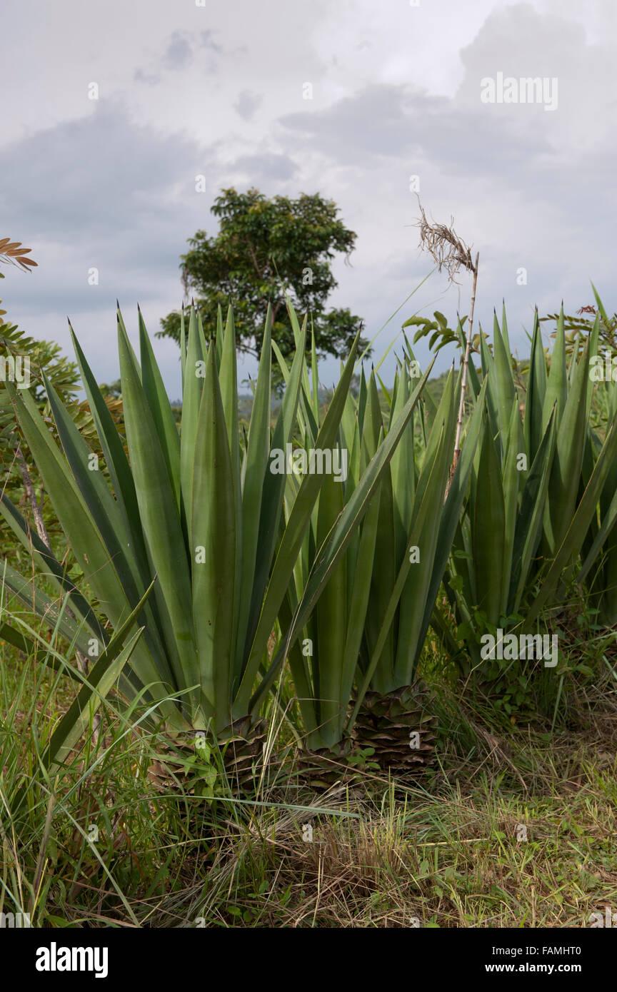 Sendero con planta de Sisal, Agave sisalana, utilizado para la fabricación de cuerdas, crecer junto a Kenya. Imagen De Stock