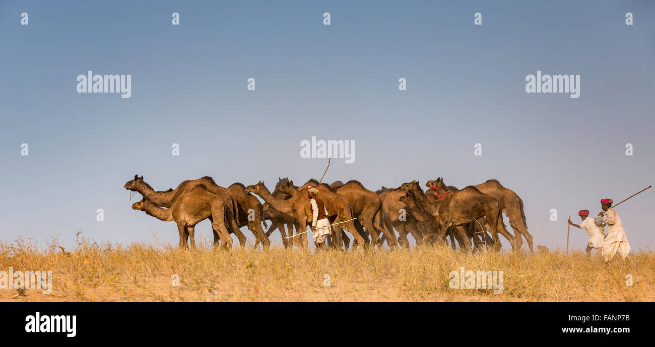 Los camellos en el camino a Pushkar Mela, Feria de camellos de Pushkar, Rajastán, India Imagen De Stock