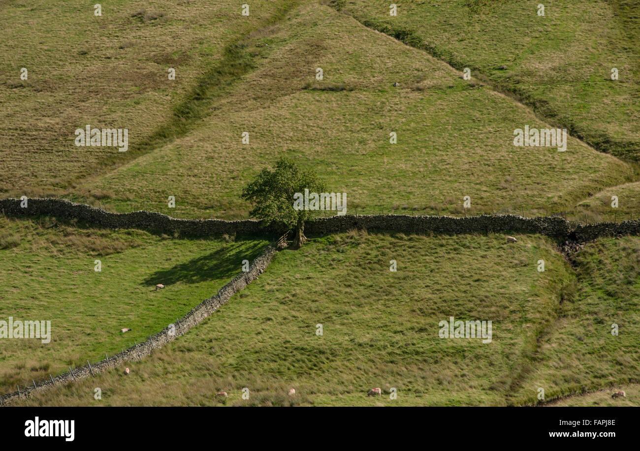 Lone Tree y paredes Boardale Cumbria Foto de stock