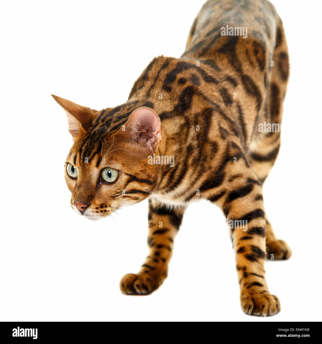 Gato de Bengala macho retrato aislado sobre fondo blanco modelo de liberación: nº de propiedad: Release Imagen De Stock