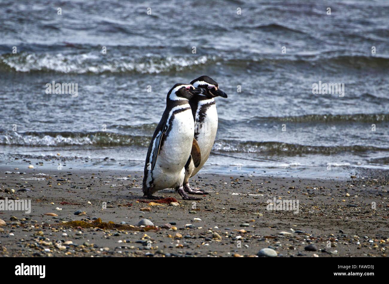 Los pingüinos magallánicos,Sphenicus magallanicus, Seno Otway, preservar, Patagonia, Chile Imagen De Stock