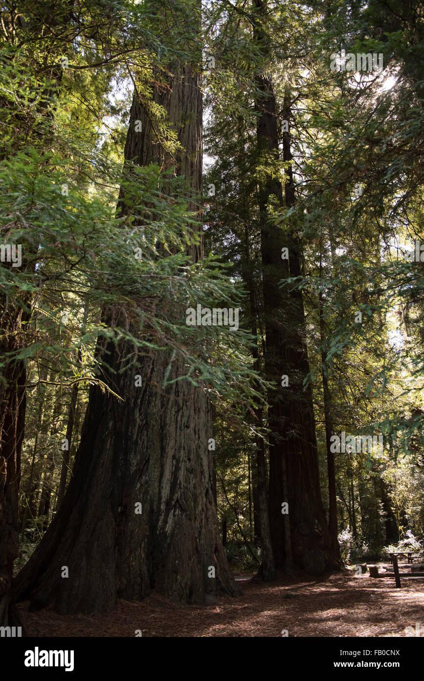 Un stand de secoyas en Jebediah Smith Redwoods State Park en el norte de California, Estados Unidos. Foto de stock