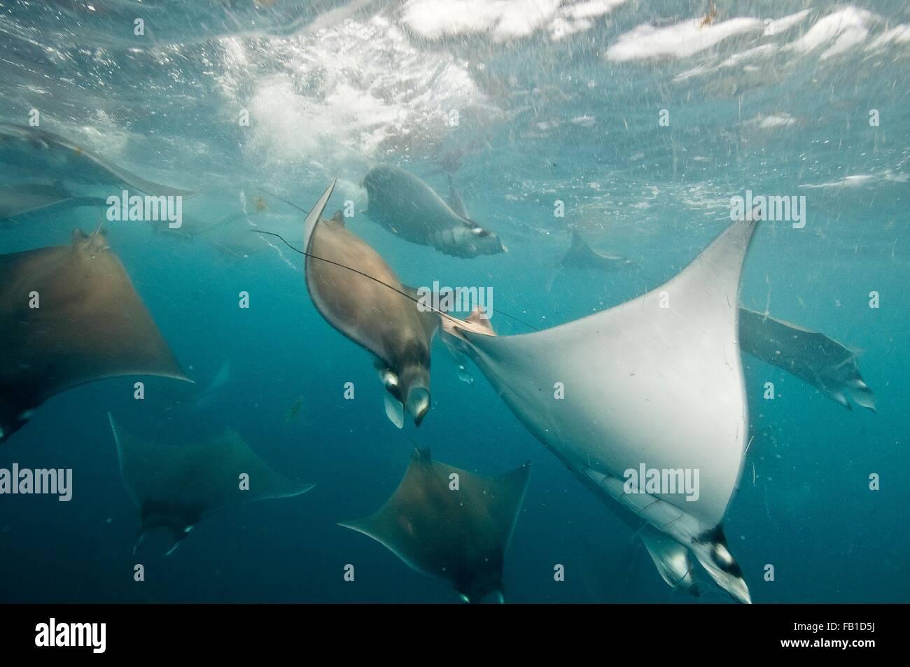 Vista submarina de mobula rayas recopilación de migración alrededor de la península de Yucatán, Imagen De Stock