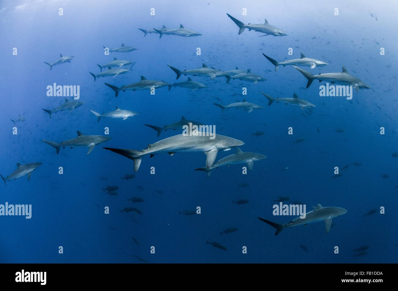 Vista submarina de tiburones sedosos reunir en primavera para rituales amorosos, Roca Partida, Revillagigedo, México Imagen De Stock