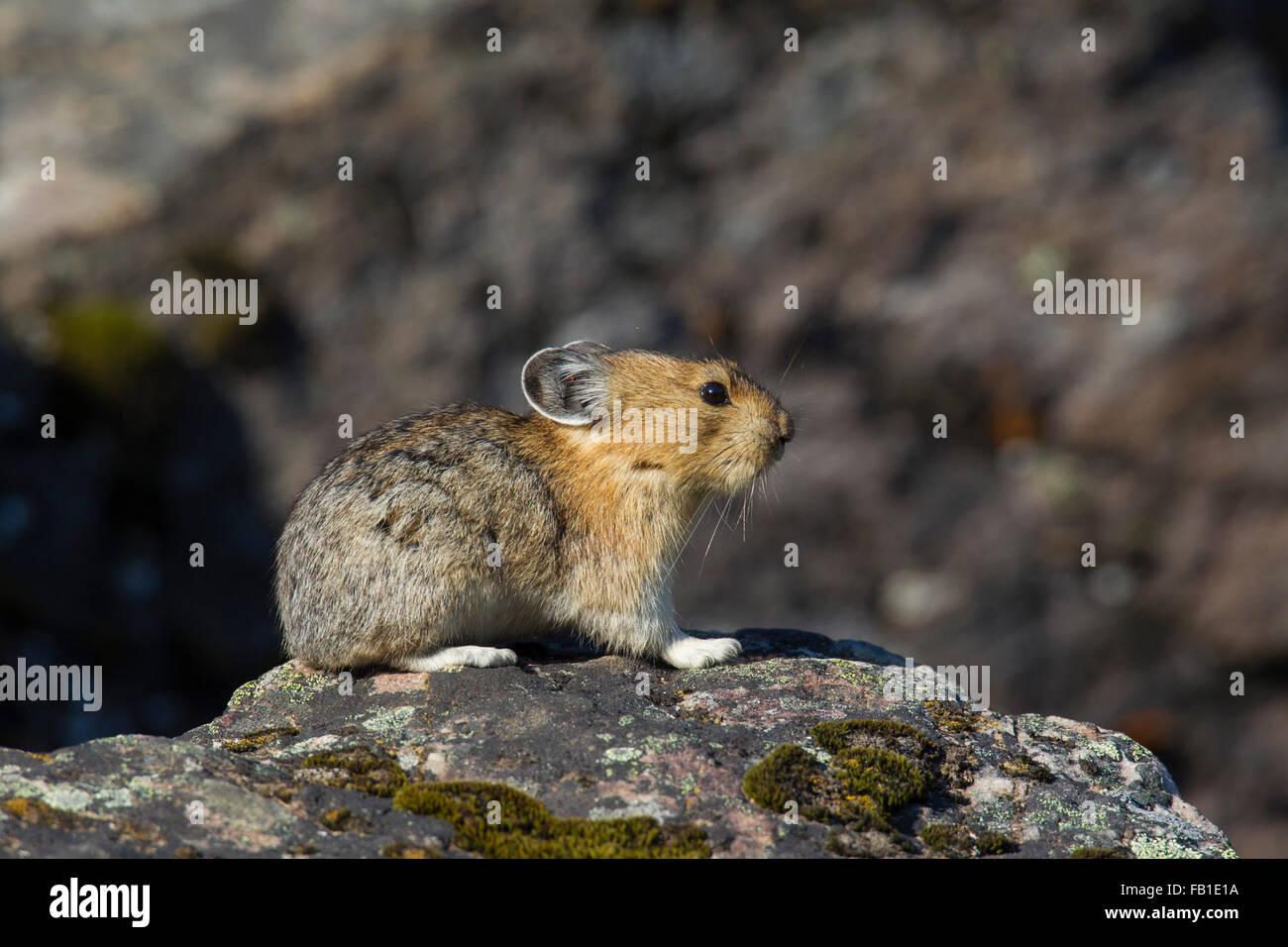 American pika (Ochotona princeps) nativas de las regiones alpinas de Canadá y oeste de EEUU, primeras víctimas Imagen De Stock