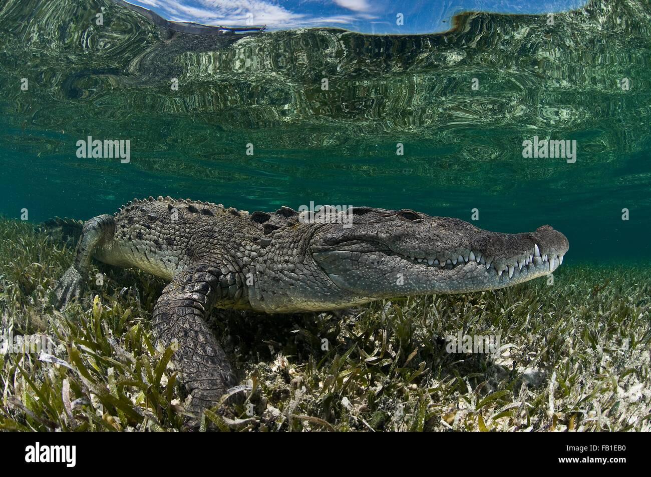 Vista lateral del submarino de cocodrilo sobre algas marinas en aguas poco profundas, el Atolón de Chinchorro, Quintana Roo, México. Foto de stock