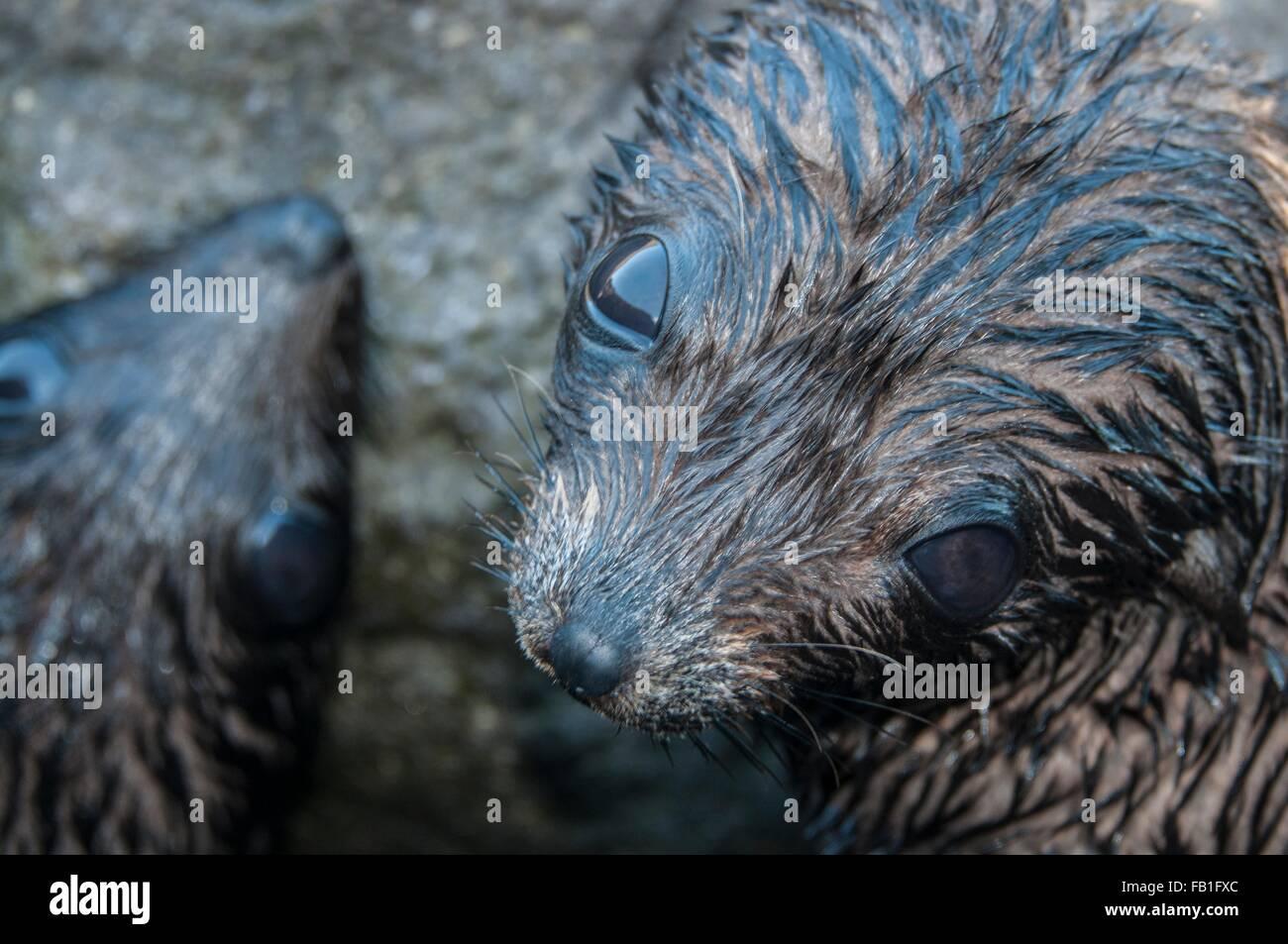 Sobrecarga de cerca de Guadalupe de crías de focas peleteras ;mirando hacia la cámara, Isla Guadalupe, Imagen De Stock