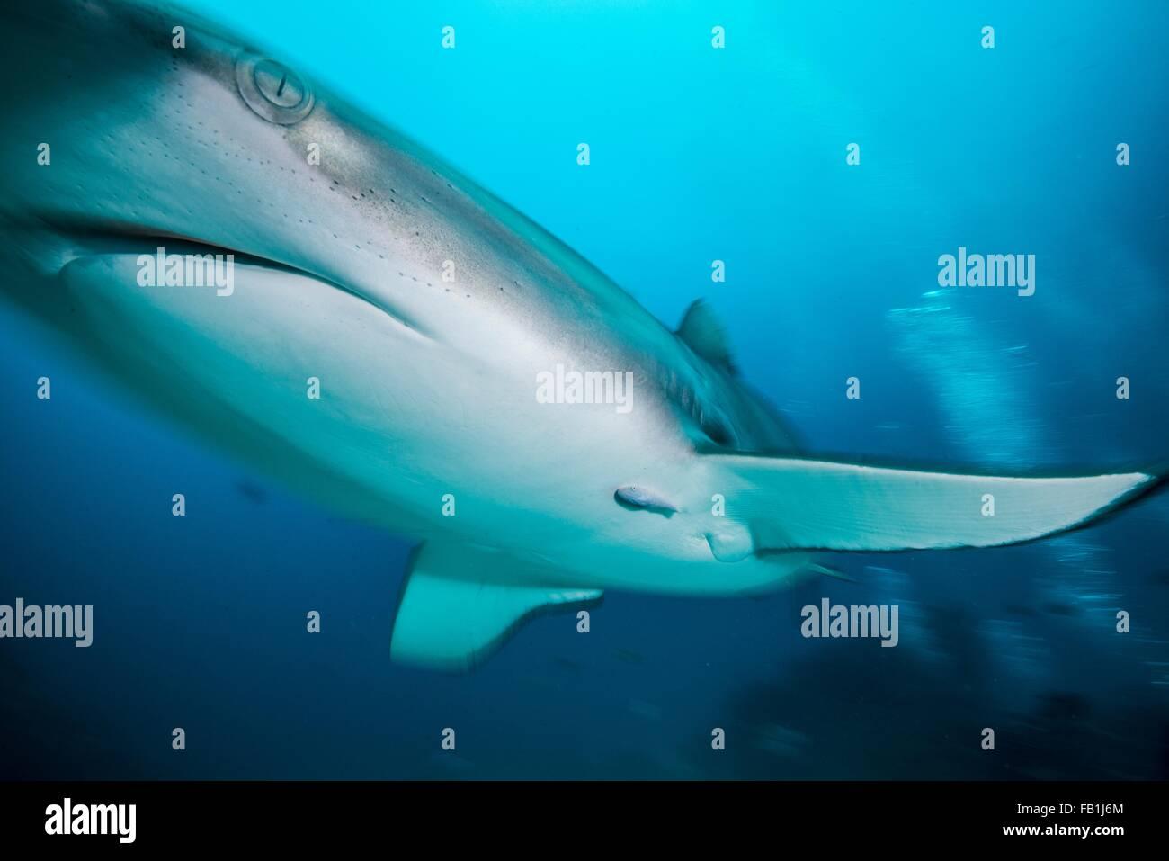 Submarino de ángulo bajo cerca de tiburón gris de arrecife, Tiger Beach, Bahamas Imagen De Stock