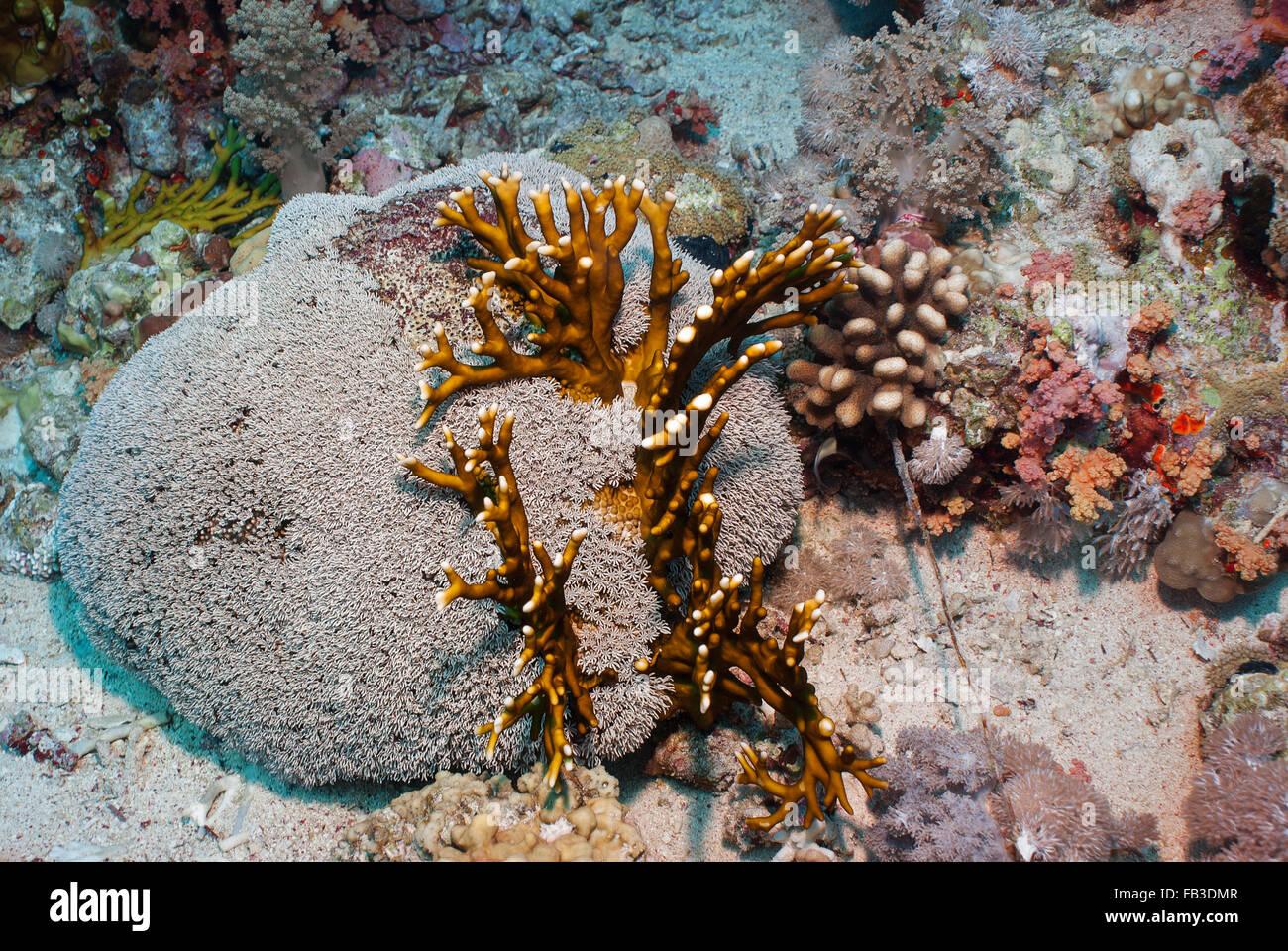 Organ Pipe coral , Tubipora musica, Tubiporidae, Sharm el Sheikh, Mar Rojo, Egipto Imagen De Stock