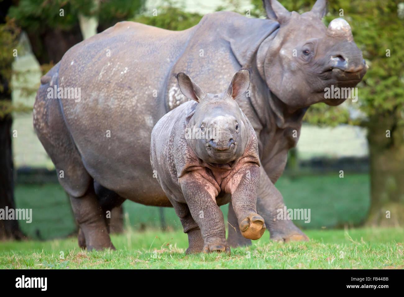 Vista vertical de un joven ternero rinoceronte indio con la madre Imagen De Stock