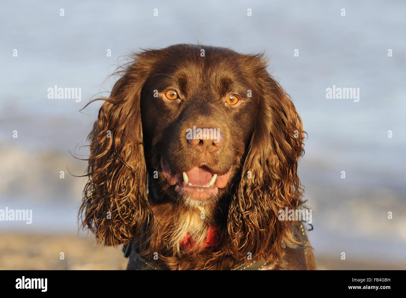 Perro Doméstico, Trabajo tipo Cocker Spaniel, retrato, fotografiado en Aldeburgh, Suffolk, Dec 2015 Foto de stock
