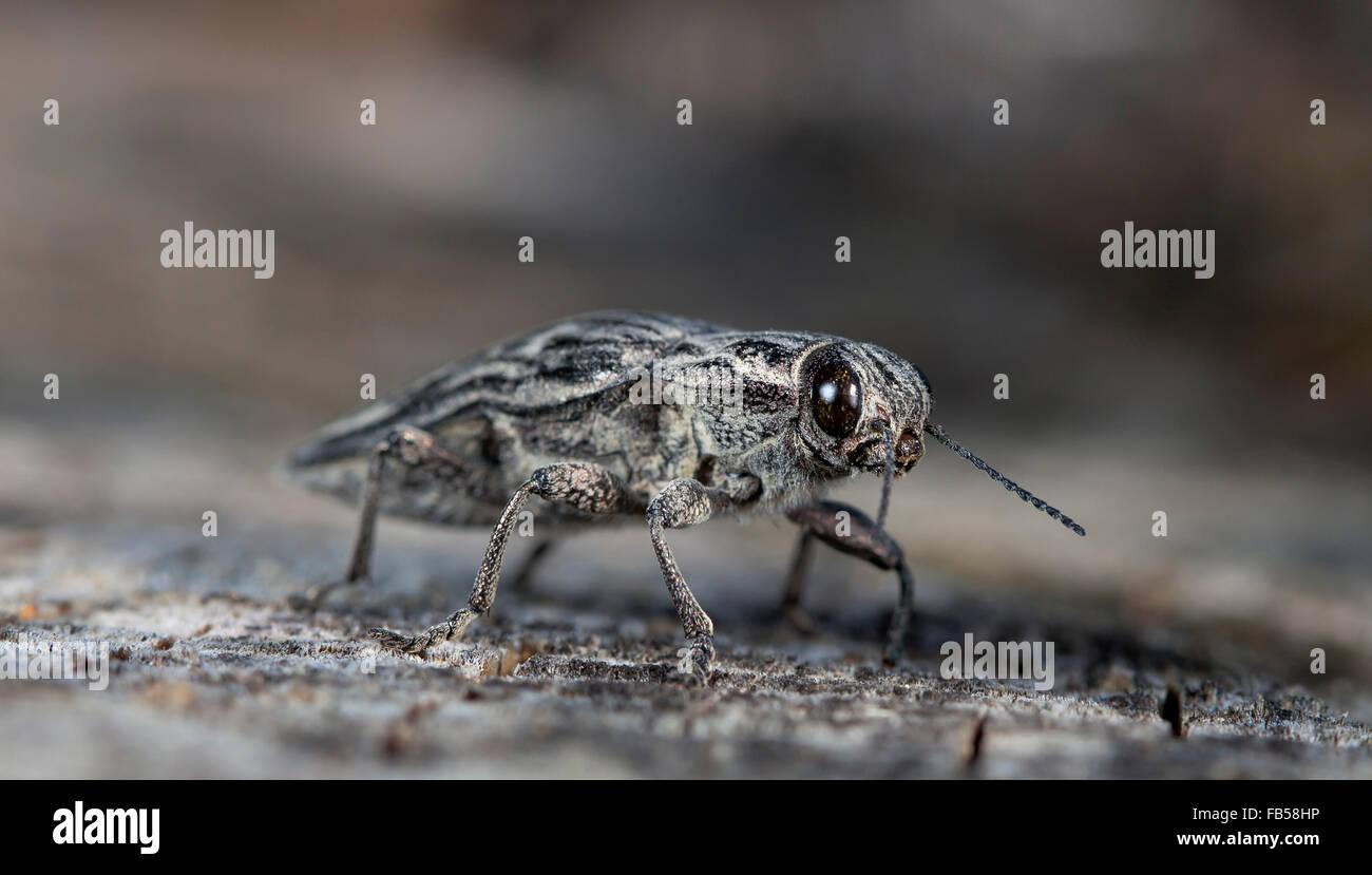 Gran error el escarabajo de corteza sobre un antiguo registro Imagen De Stock