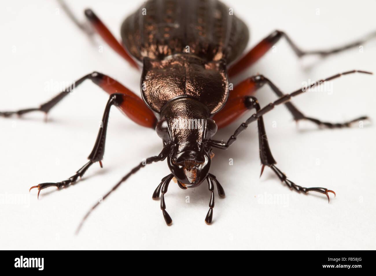 Escarabajo de tierra viva Imagen De Stock