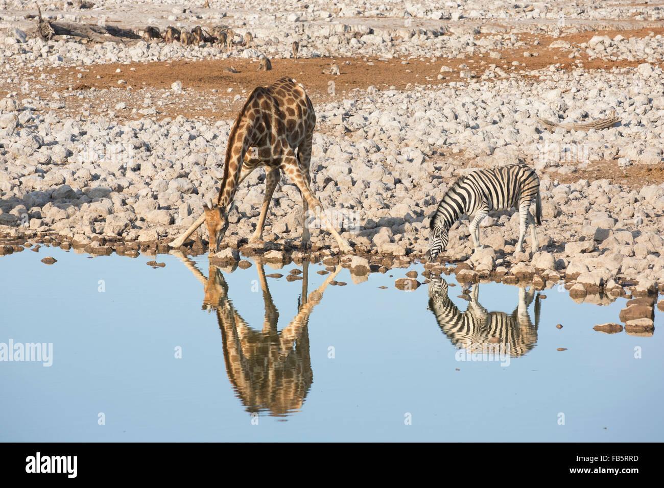 Burchell Zebra y el sur de jirafa beber al abrevadero visible con sus reflexiones y un manojo de negro-respaldado Imagen De Stock