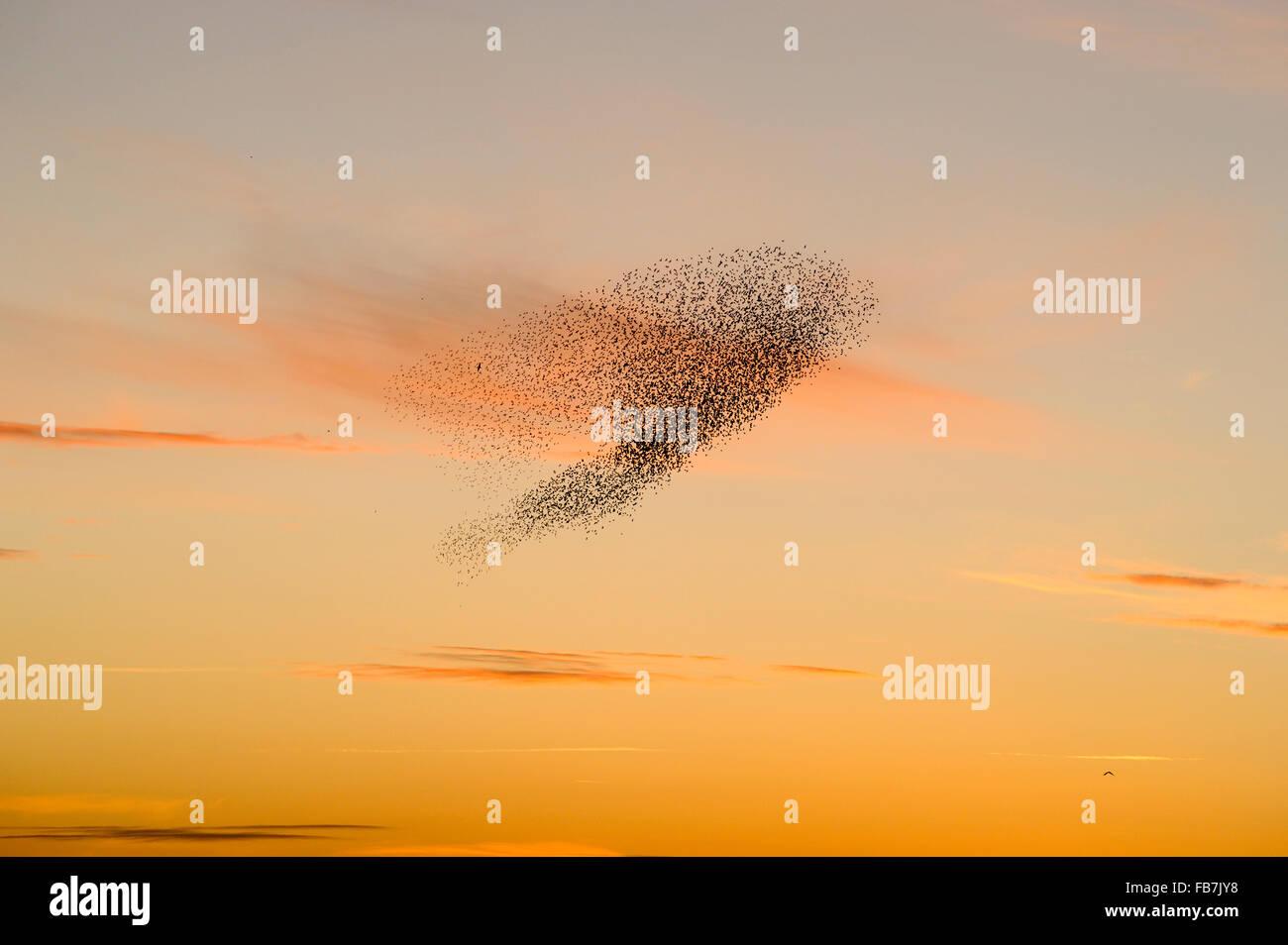 Rebaño estornino (Sturnus vulgaris) al atardecer, con el aguilucho lagunero y el halcón peregrino volar debajo de la grey. Foto de stock