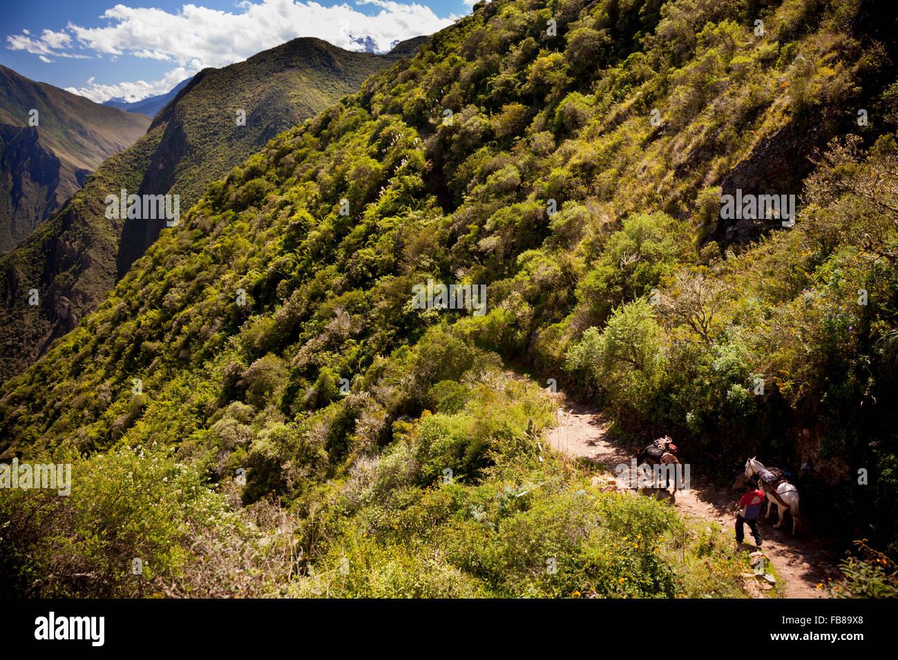 Arriero (mule-Skinner) y pack-mula acercarse al Choquequirao (Cuna de Oro) ruina complejo en un antiguo Camino Inca, Imagen De Stock
