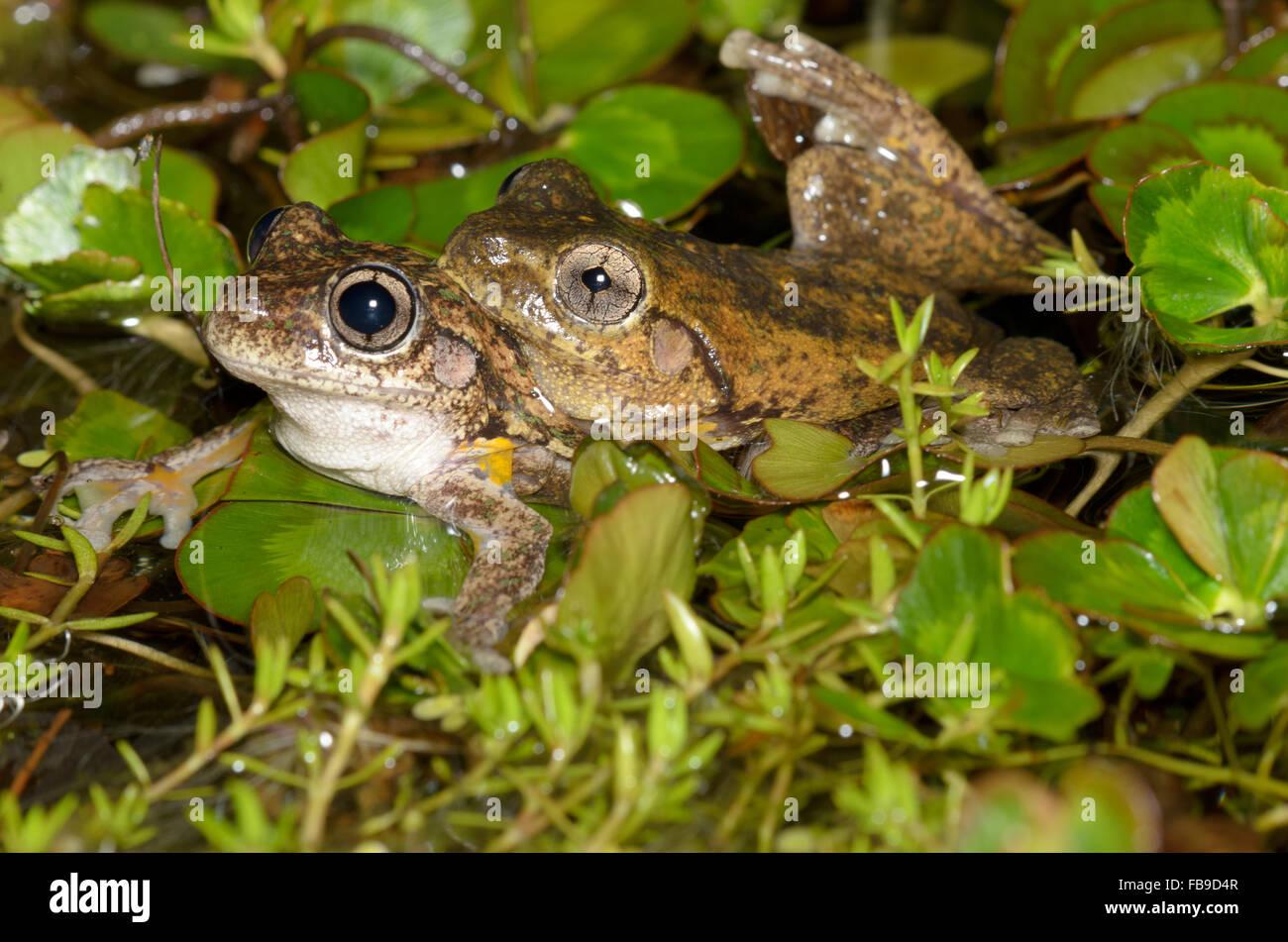 El apareamiento Peron's Tree Frog, Litoria peronii, en Glenbrook, New South Wales, Australia. Imagen De Stock