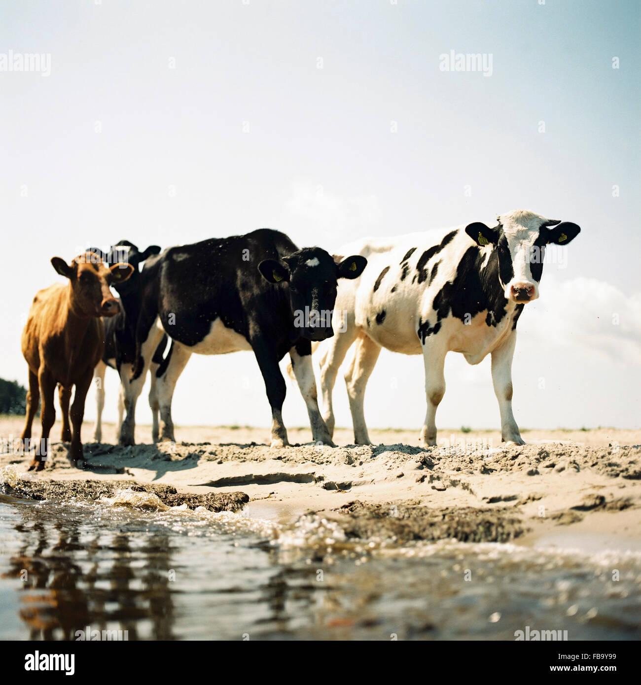 Suecia, Öland, cuatro vacas en la playa Imagen De Stock